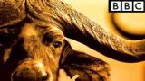 Сериал BBC: Дикая Африка / Wild Africa
