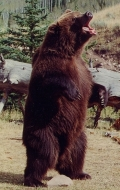 медведь Броди